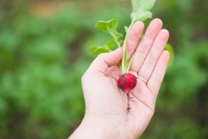 radish-red-fruit