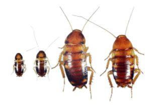 cockroach-bed-bug-look-alikes