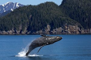 grey-animals-whale
