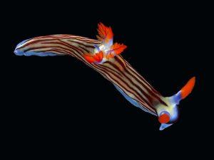 sea-slug-naturally-blue