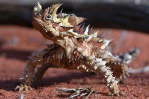thorny-devil-rough-animals