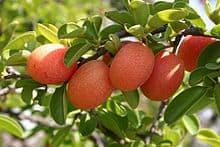 ximenia-fruit-letter-x