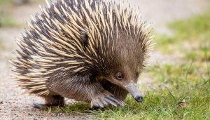 Echidna-sharp-pointy-animal