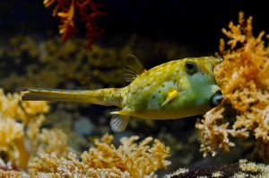 puffer-fish-sharp-animal