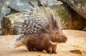 porcupine-sharp-thorns